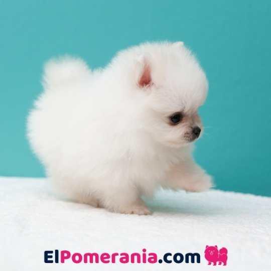 El cachorro Pomerania blanco