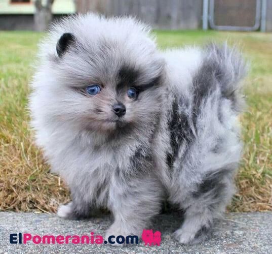 Cachorro Pomerania merle con ojos azules