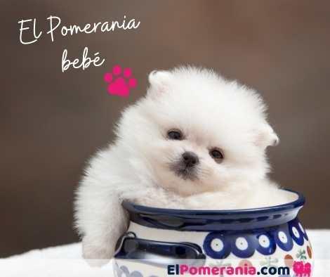 Cachorro pomerania color blanco - Adorable ❤ Consejos para comprar un perro pomerania