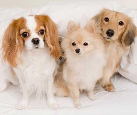 Los pomerania son buenos con otros perros ?