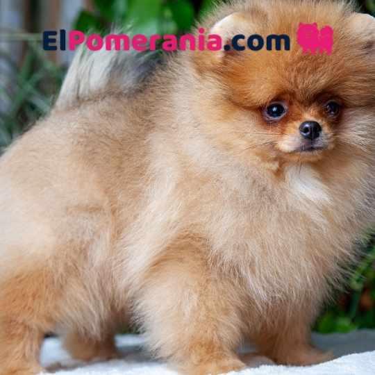 Cachorro Pom color Castor