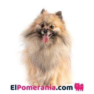 Pomerania colores crema sable