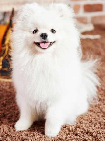 Perro pomerania blanco - Dónde comprar un cachorro?