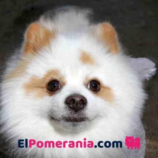 Pomerania Parti Bicolor