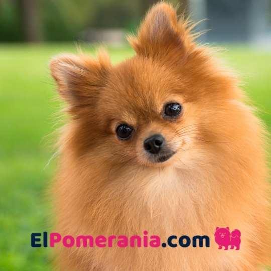 En su rostro podemos ver su temperamento atento y su apariencia despierta, alerta. Un perro muy inteligente.