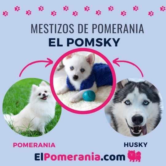 Una mezcla interesante entre pomerania y husky, el perro pomsky.