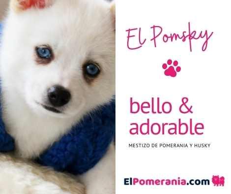 El Pomsky - mestizo de pomerania y husky siberiano