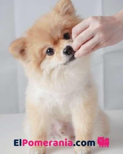 Cuánto crece un perro pomerania? Cuál es el peso de un pomerania adulto?