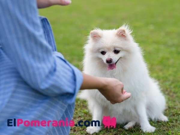 Cuánto pesa un pomerania ? Tabla de crecimiento de cachorro a adulto. Pesos estimados