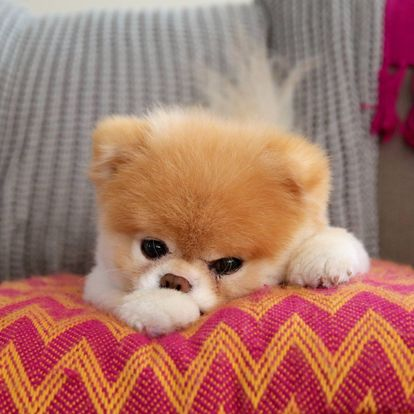 perros Pomerania famosos