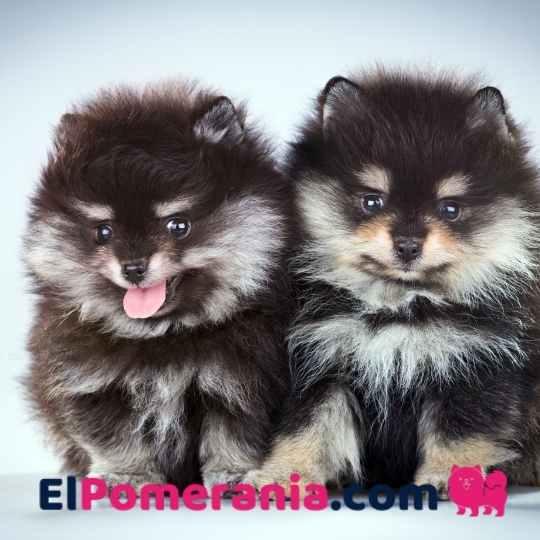 Pomerania Toy cachorro