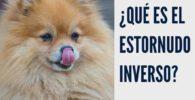 estornudo inverso perro