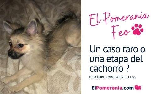 Etapa del cachorro: Pomerania Feo o Mono, es sólo una etapa?