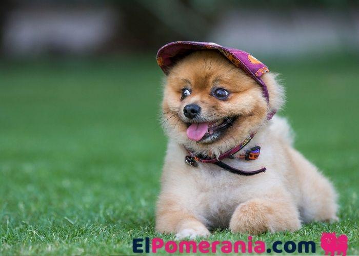 Los accesorios para Pomerania para proteger sus ojos, cabezas y patas son esenciales en verano o invierno