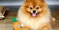 Lo mejor es ofrecer un snack crudo para perros pequeños a tu pomerania