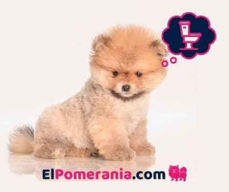 entrenar cachorro pomerania para ir al baño hacer pipí