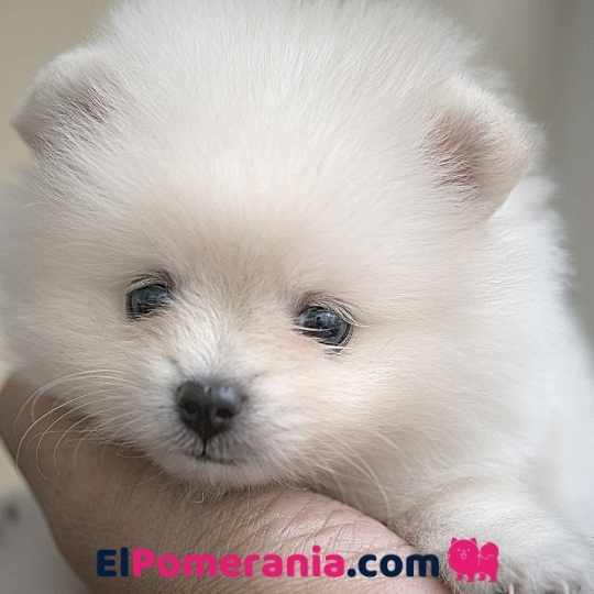 Un cachorro Pomerania blanco- Los cachorros Pomerania de colores claros son más propensos a manchar sus ojos.