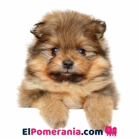 Cómo saber si un Pomerania es original o de raza pura