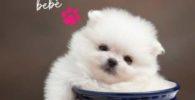 comprar perro pomerania cachorro