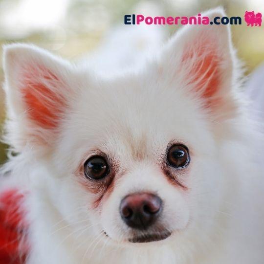 Lágrimas manchan el contorno de ojos del Pomerania