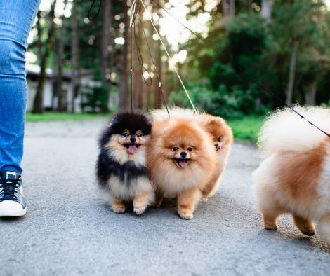 Pasear a tu pomerania por el parque o plaza es una buena manera de que aprendan a socializar con otros perros.