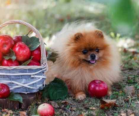 Pomerania manzanas