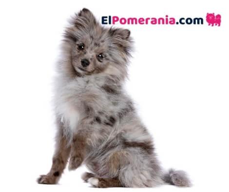 Pomerania merle o mirlo