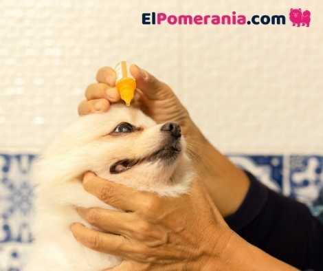 El veterinario sabrá orientarte sobre Cómo limpiar los ojos de un Pomerania y sobre todo como prevenirlas y encontrar el origen de las mismas, si son excesivas