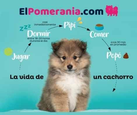 La vida de un cachorro pomerania responde a su desarrollo fisiológico en proceso.