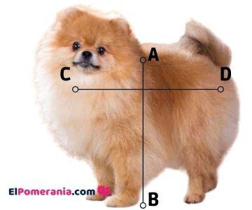 Proporciones del perro de raza Pomerania, el largo A-B (altura a lacruz) es igual al C-D (largo).