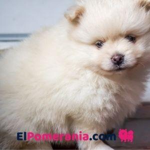 Cachorro pomerania color crema