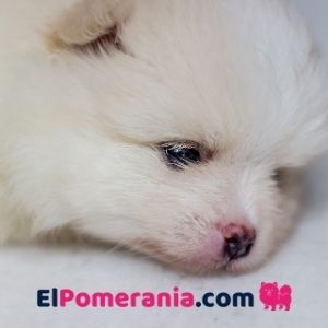 Cachorro pomerania crema - nota el color rojizo a morado de su nariz y contorno de ojos. Los bigotes bien blancos.