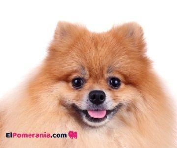 Las orejas puntiagudas y erectas del perro de raza pomerania.