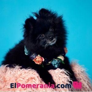 Pomerania adulto color negro