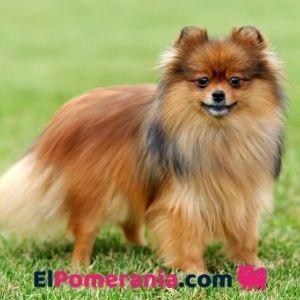 Un bonito Pomerania Rojo sable