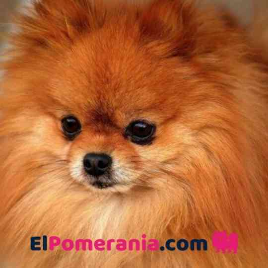 pomerania color Rojo