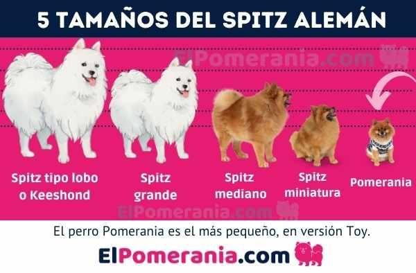 Tamaños de la raza de perros spitz alemán, el pomerania