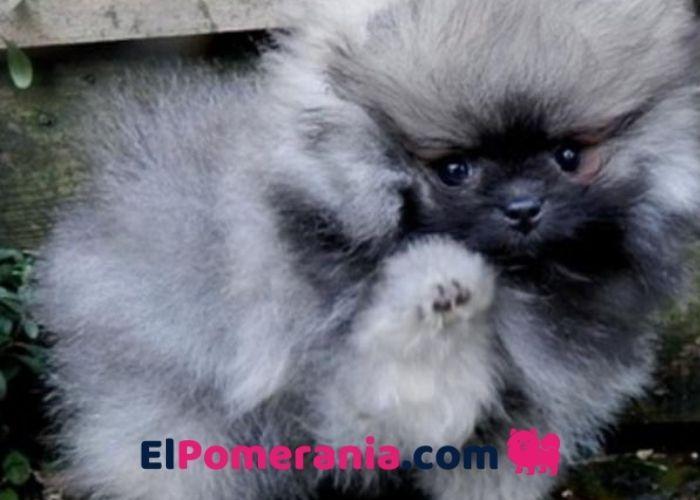 Cachorro Pomerania Sable Lobo
