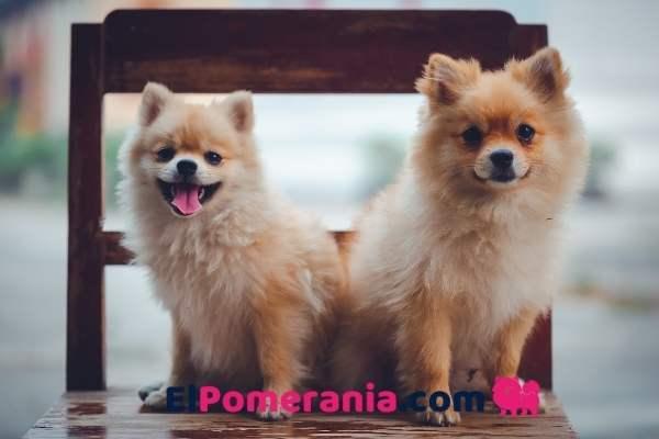Qué factores afectan el crecimiento de un perro pomerania?