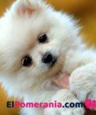 cachorro pomerania crema