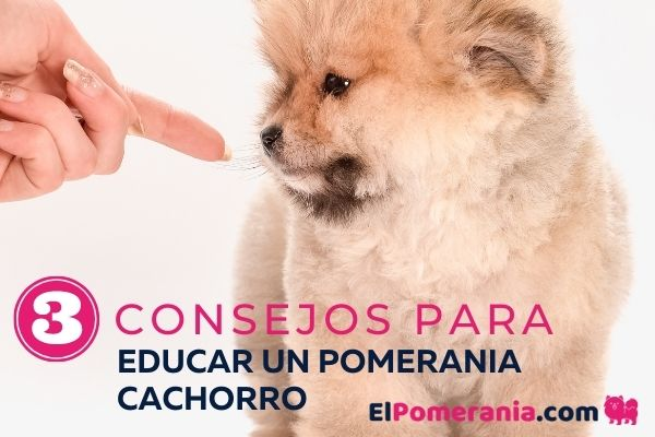3 consejos para educar un pomerania cachorro
