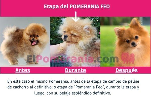 Un mismo cachorro Pomerania, antes, durante la etapa de feo y después, con su pelaje definitivo.