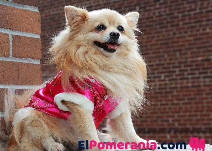 ¿Por qué deberías considerar comprar ropa para perros Pomerania?